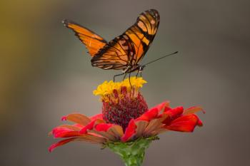 Brown and Black Butterfly Perched on Yellow and Red Petaled Flower Closeup Photography