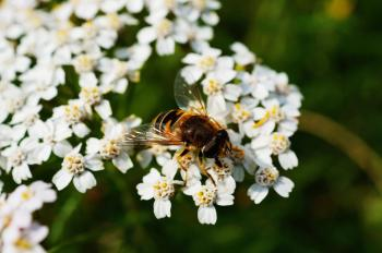 Brown and Black Honey Bee on White Flower Near Green Plants during Daytime