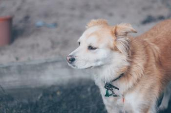 Brown and White Finnish Spitz Mix