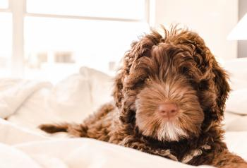 Brown and White Portuguese Water Dog Puppy