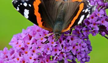 Brown Black Orange and White Butterfly on Purple Flower