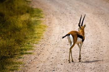 Brown Deer on Pathway