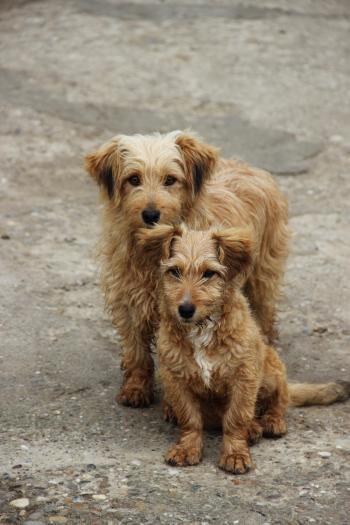 Brown dogies