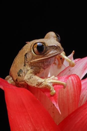 Brown Frog on Red Petal Flower