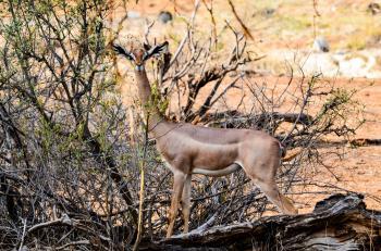 Brown Gazelle