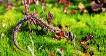 Brown Gecko in Green Open Field