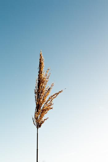 Brown Grain Plant