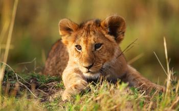 Brown Lion Sitting on Green Grass Field