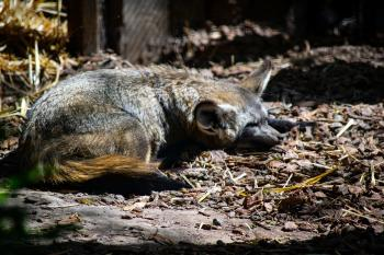 Brown mammal sleeps in the woods during the day