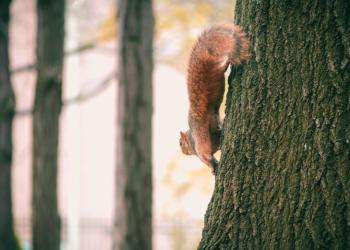Brown Squirrel on Black Tree