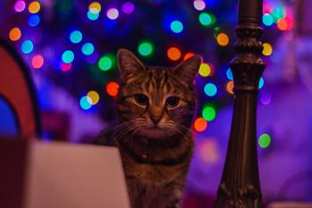 Brown Tabby Cat Staring at the Camera