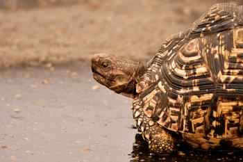 Brown Tortoise on Wet Surface