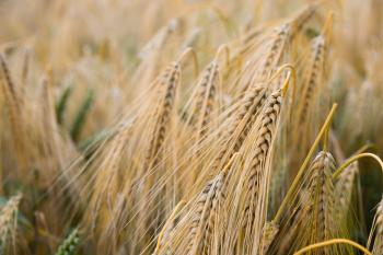 Brown Wheat Plant