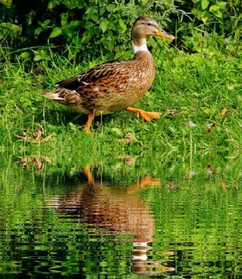 Brown White Black Duck