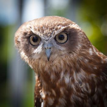 Brown White Owl