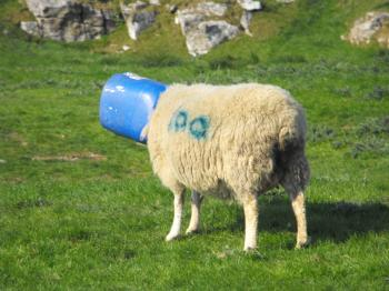 Bucket Head Sheep