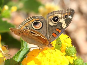 BUCKEYE, TROPICAL (Junonia evarete) (9-28-11) 78 circulo montana, patagonia lake ranch estates, scc, az -03 (3)