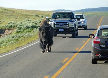 Buffalo on the highway