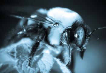 Bumble bee macro