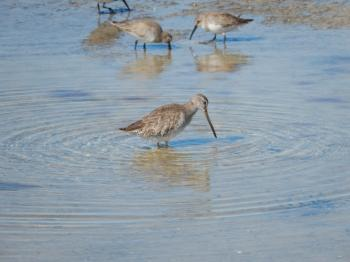 Bunche Beach Preserve, Long-billed Dowitcher