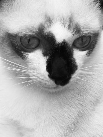 Burmese Cat Black and White