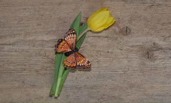 Butterfly on Tulip