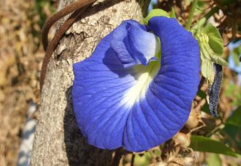 Butterfly pea flower - Clitoria Ternatea