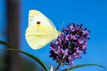 Cabbage White Ling in the Garden