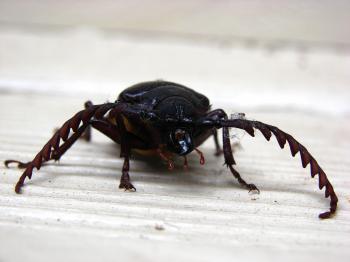 California prionus beetle