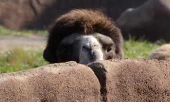 Camel Pekk-a-boo