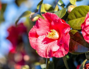 Camellia plant