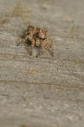 Camouflaged Jumping Spider