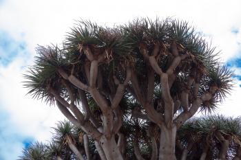 Canary Island Dragon Tree