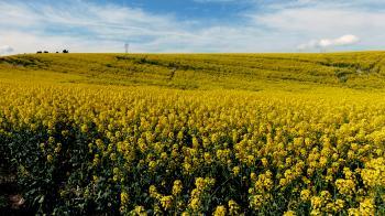 Canola. Golden fields.