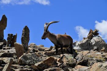 Capra pyrenaica victoriae