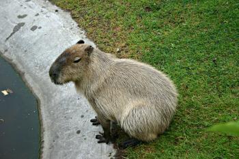 Capybara - world's biggest rodent