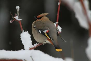 Cardinal on the Tree