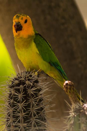 Caribbean Parakeet