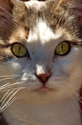 Cat - Minka