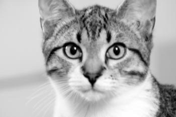 Cat Staring