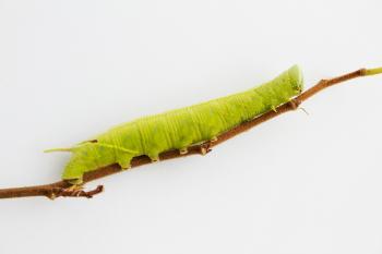 Caterpillar on a twig