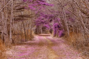 Cavendish Forest Trail - Purple Nostalgia HDR