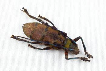 Cerambycidae Beetle