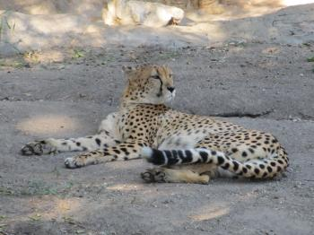 Cheetah in the Zoo