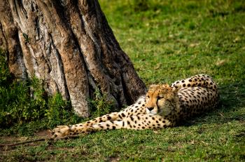 Cheetah Lying Near Tree