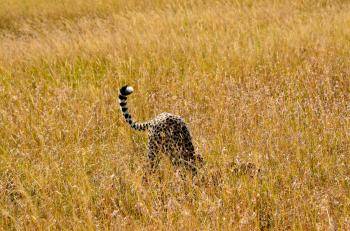 Cheetah on Brown Grass Field Photo