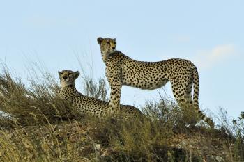Cheetahs in the Jungle