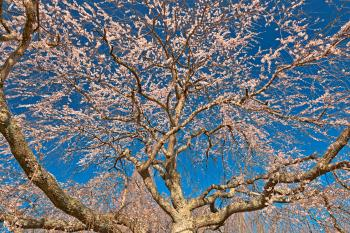 Cherry Blossom Tree Close-up - HDR