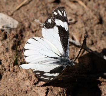 CHIRICAHUA WHITE (Neophasia terlooii) (11-1-11) male, sawmill cyn, huachuca mts, az -02