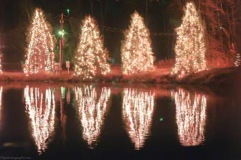 Christmas trees reflection
